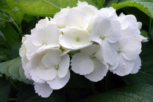 фото гортензия белая