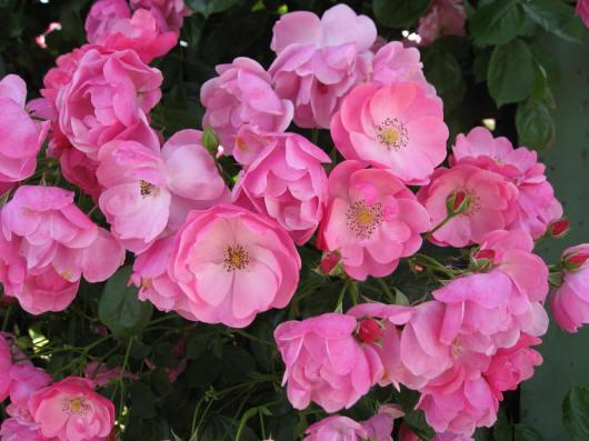 Розы садовые фото цветов