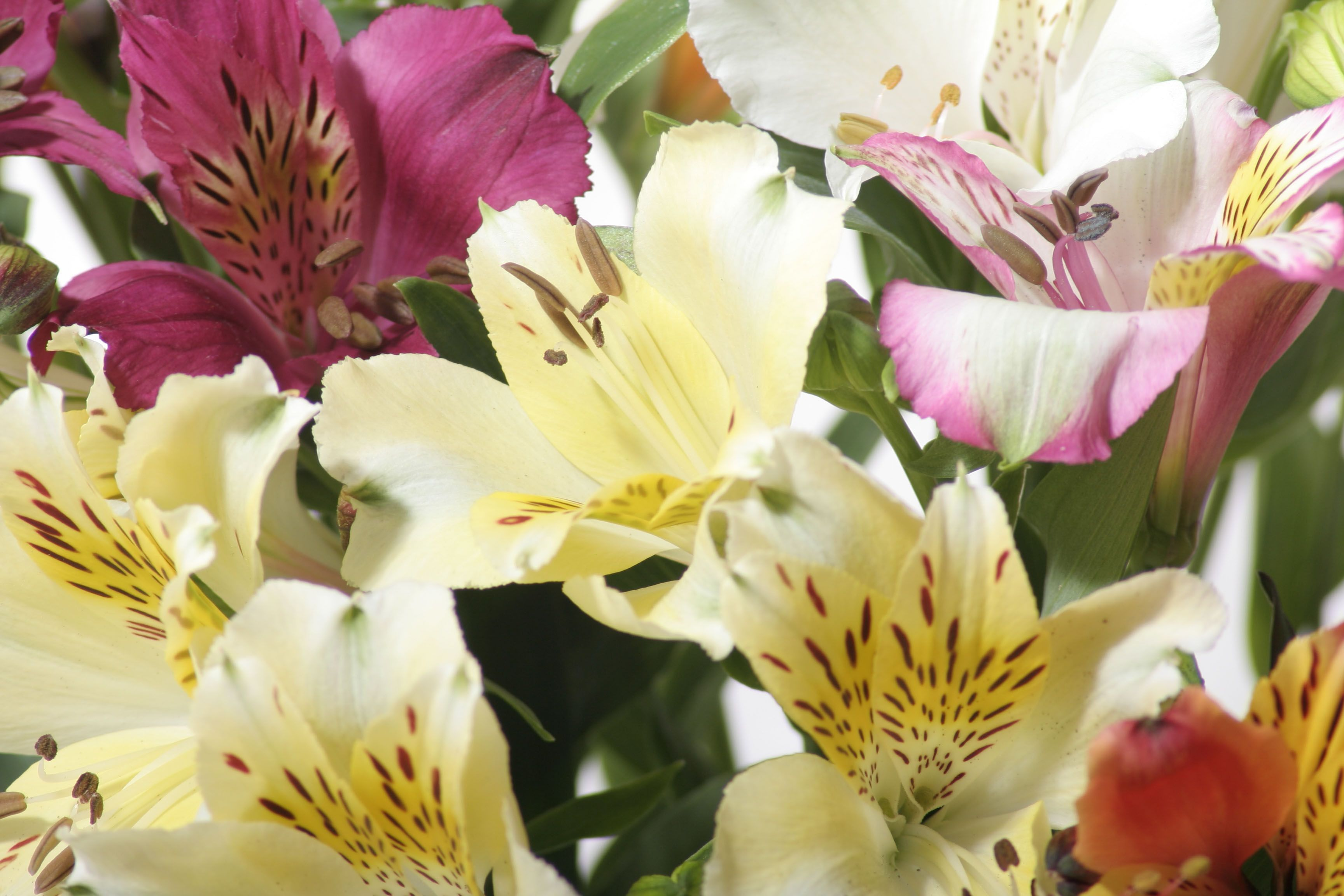 фото цветов альстромерия: