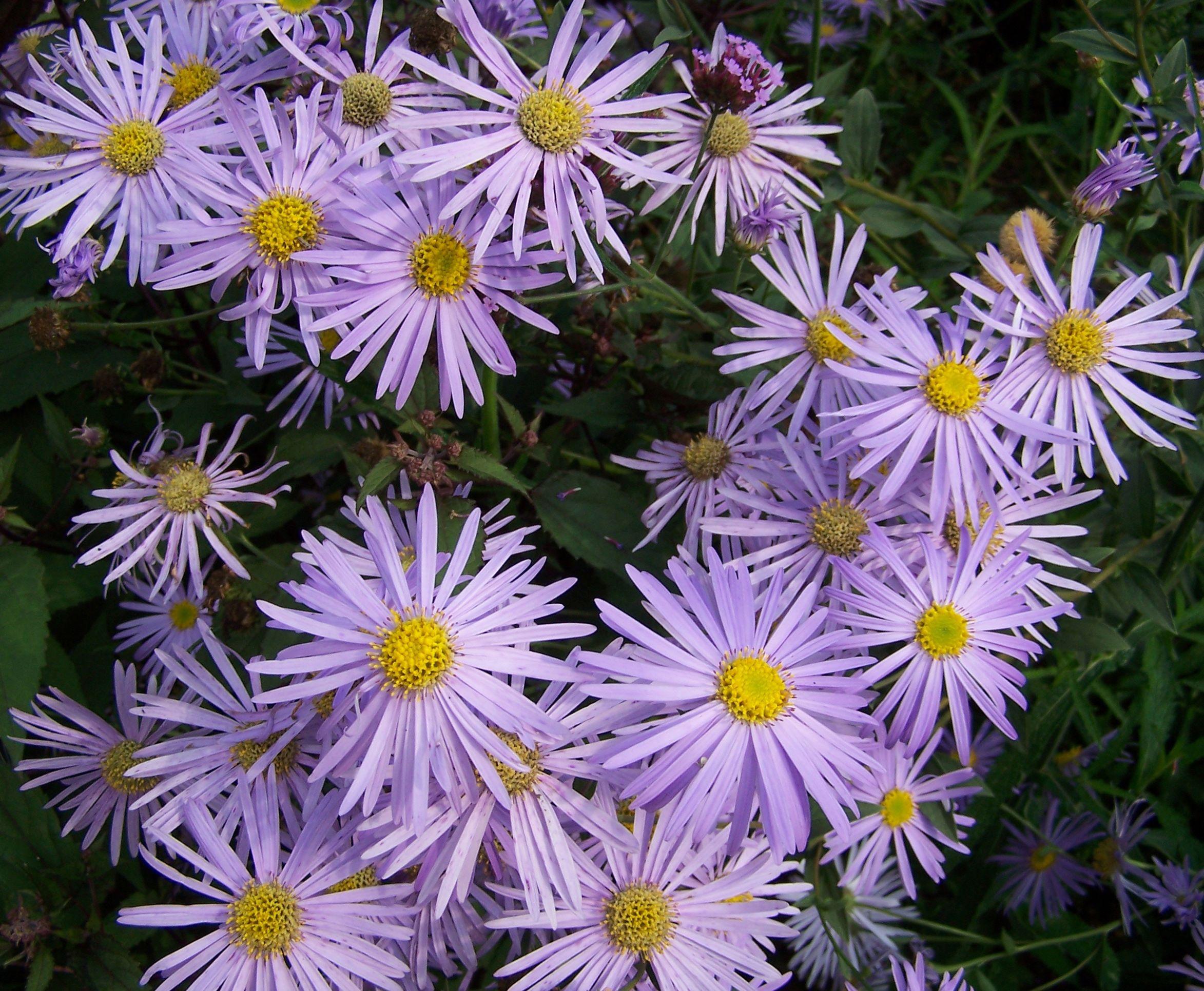 Цветы астры фото сорта самых красивых