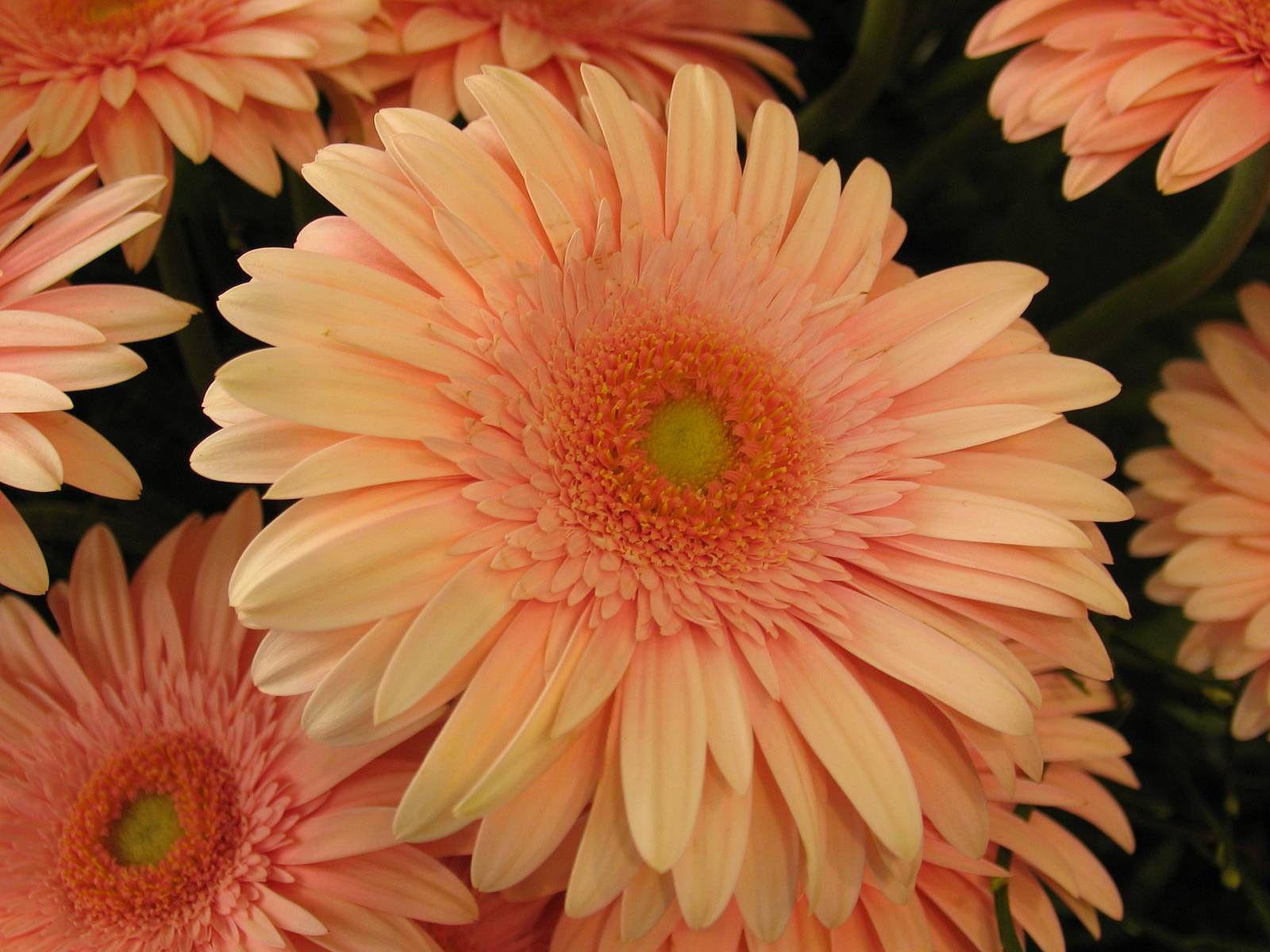 Большие фото цветов герберов