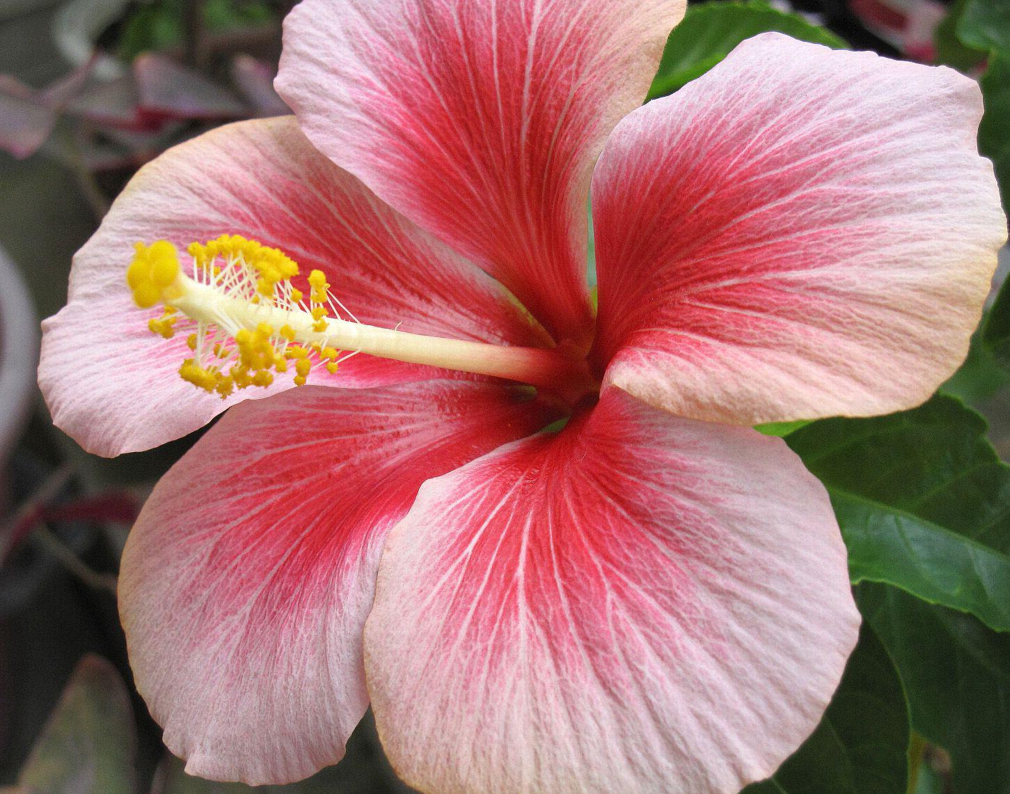 Гибискус китайская роза уход в 54
