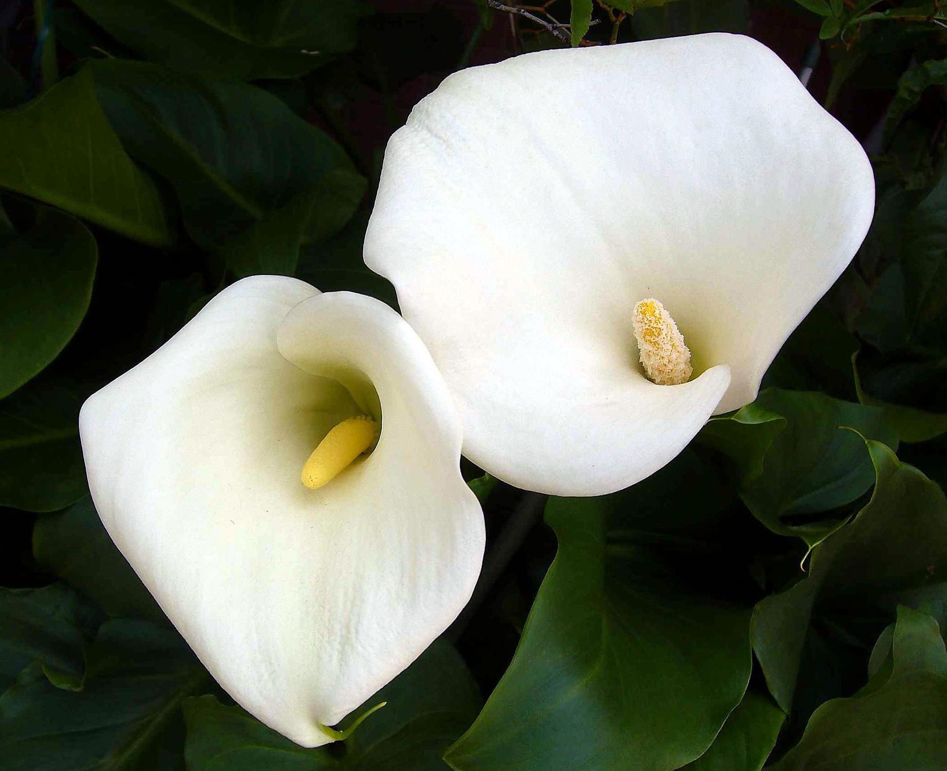 Цветы разновидность калл фото