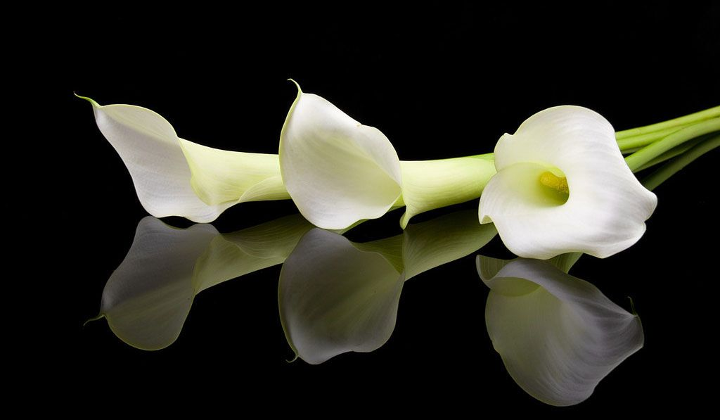 цветы белые каллы