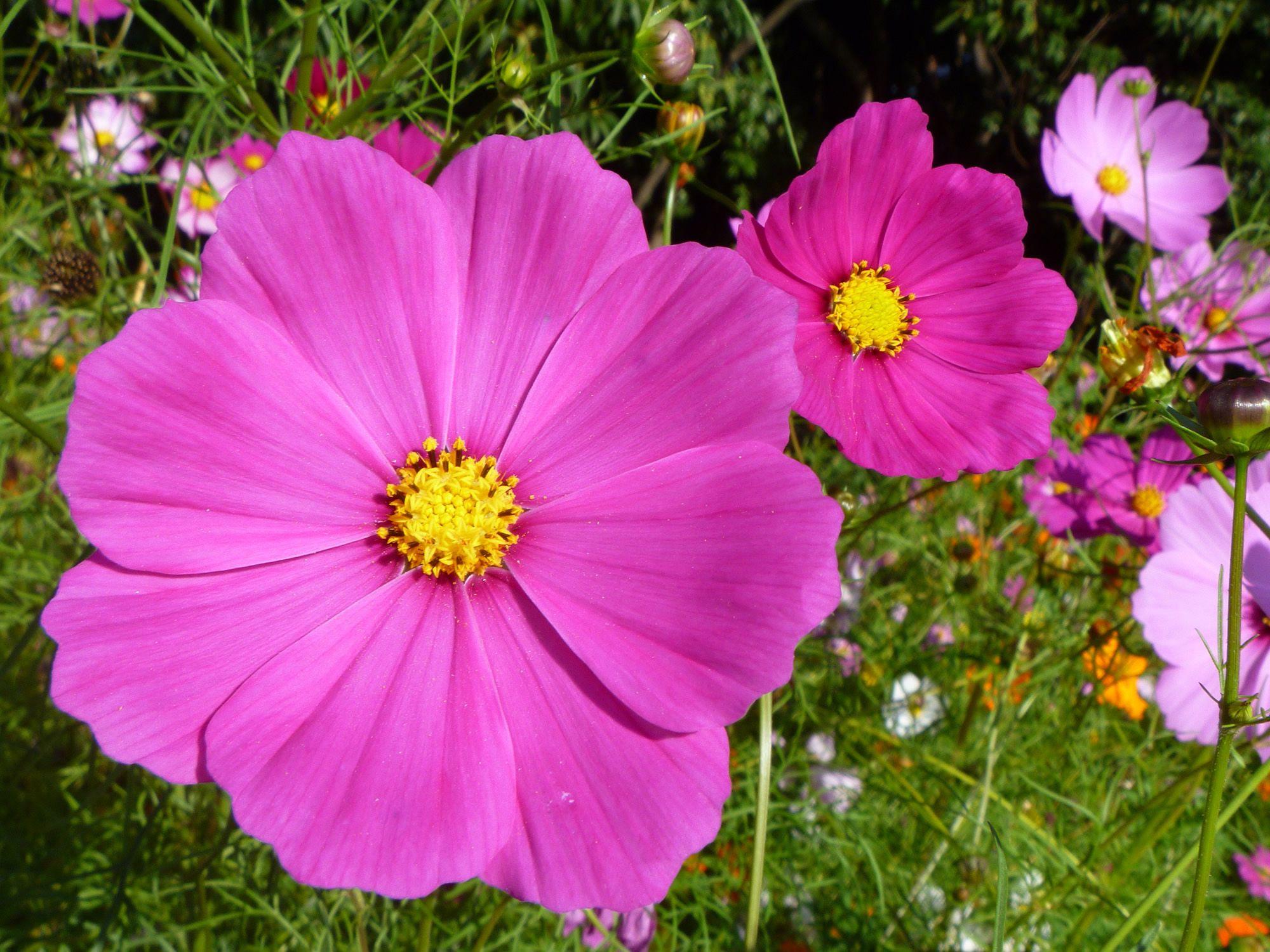 Космея, или Космос цветок: фото, выращивание и уход 88