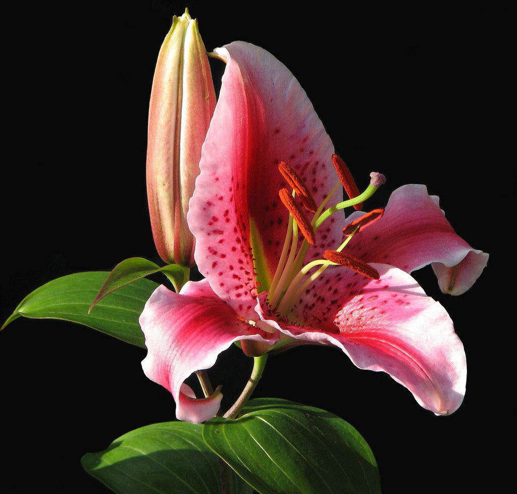 фото розовая лилия