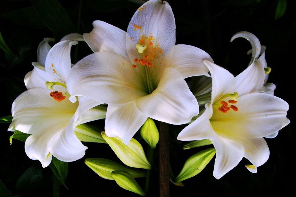 Три цветка картинки