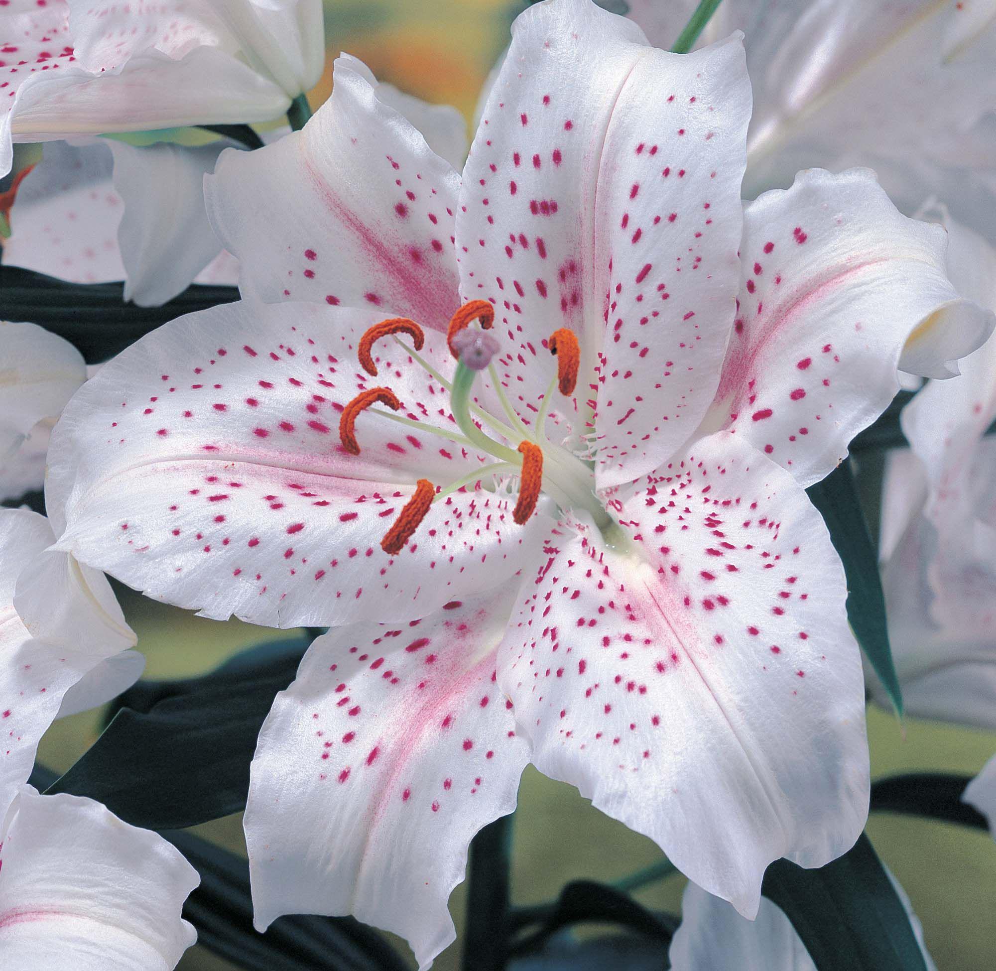 Фото сердечек из цветов лилий