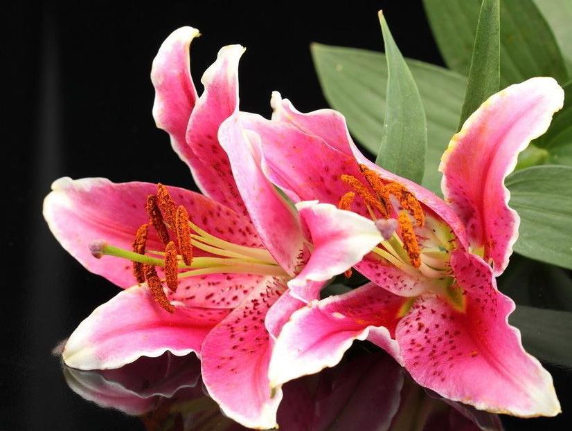 Фото цветов лилий с названиями сортов
