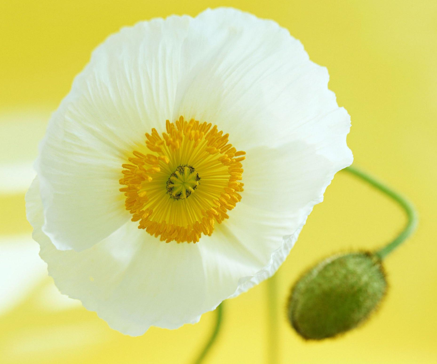 Изображение цветка мака 7