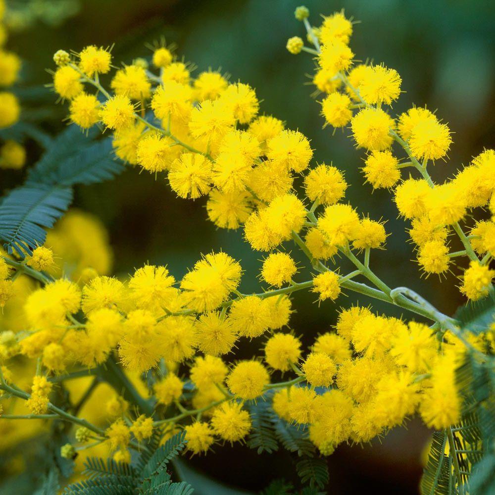 Энотера фото выращивание и уход  Садовые цветы и