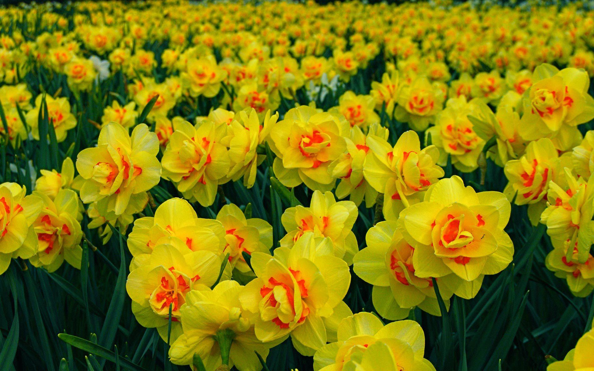 Цветок нарцисс сорта с