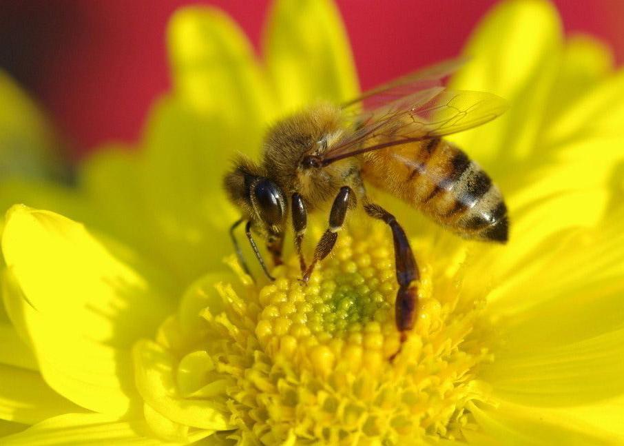 481Фото пчела цветок