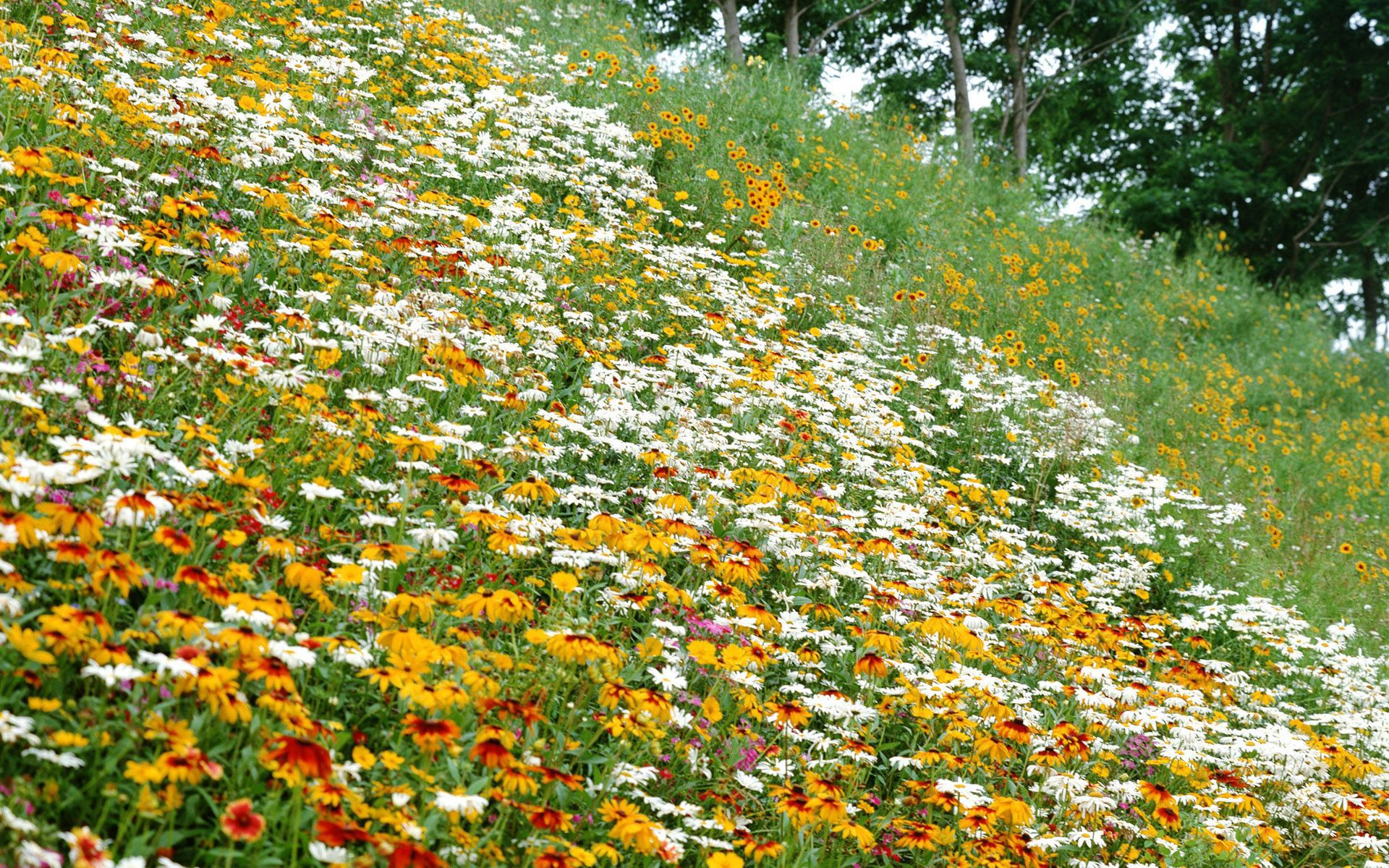 Фото цветы георгины на рабочий стол
