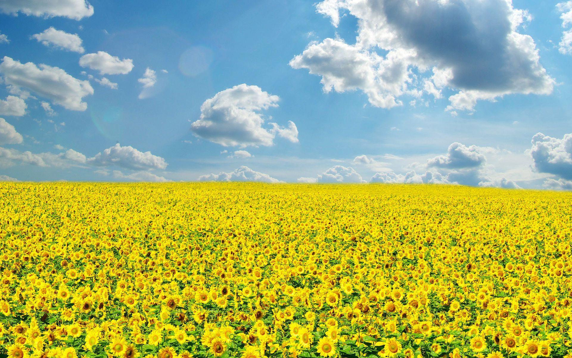 Луговые полевые цветы обои на рабочий стол