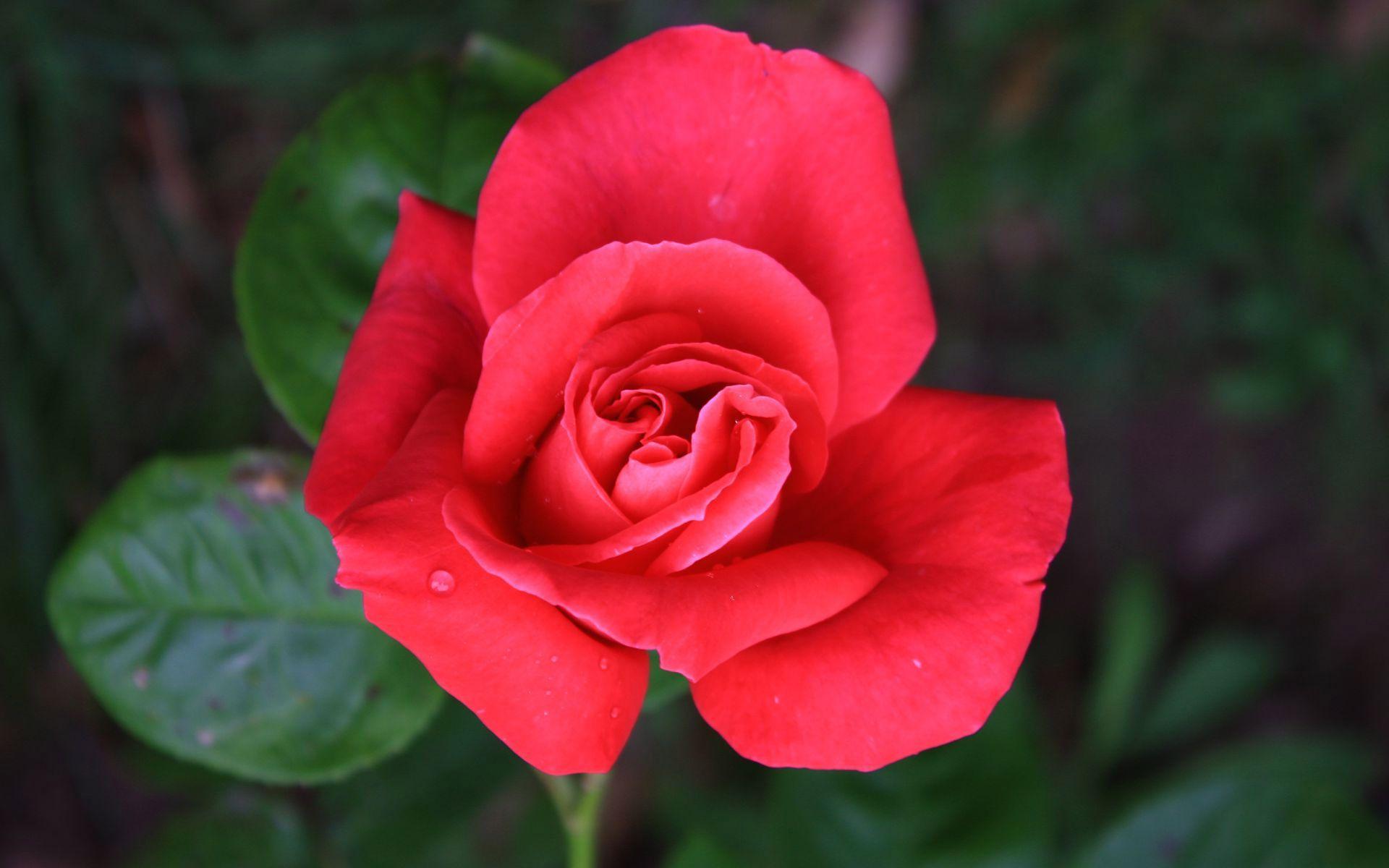 Картинки Розы на рабочий стол скачать обои Розы