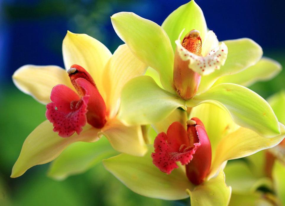 Орхидеи сорта дендробиум и каттлея.: kartinki-cvetov.ru/dendrobium.html