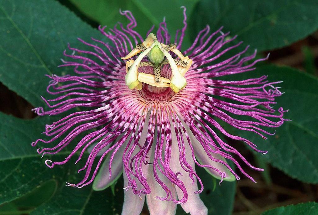 Фото цветка калла