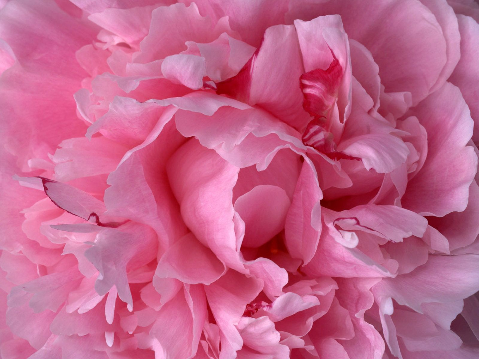розы фуксия фото