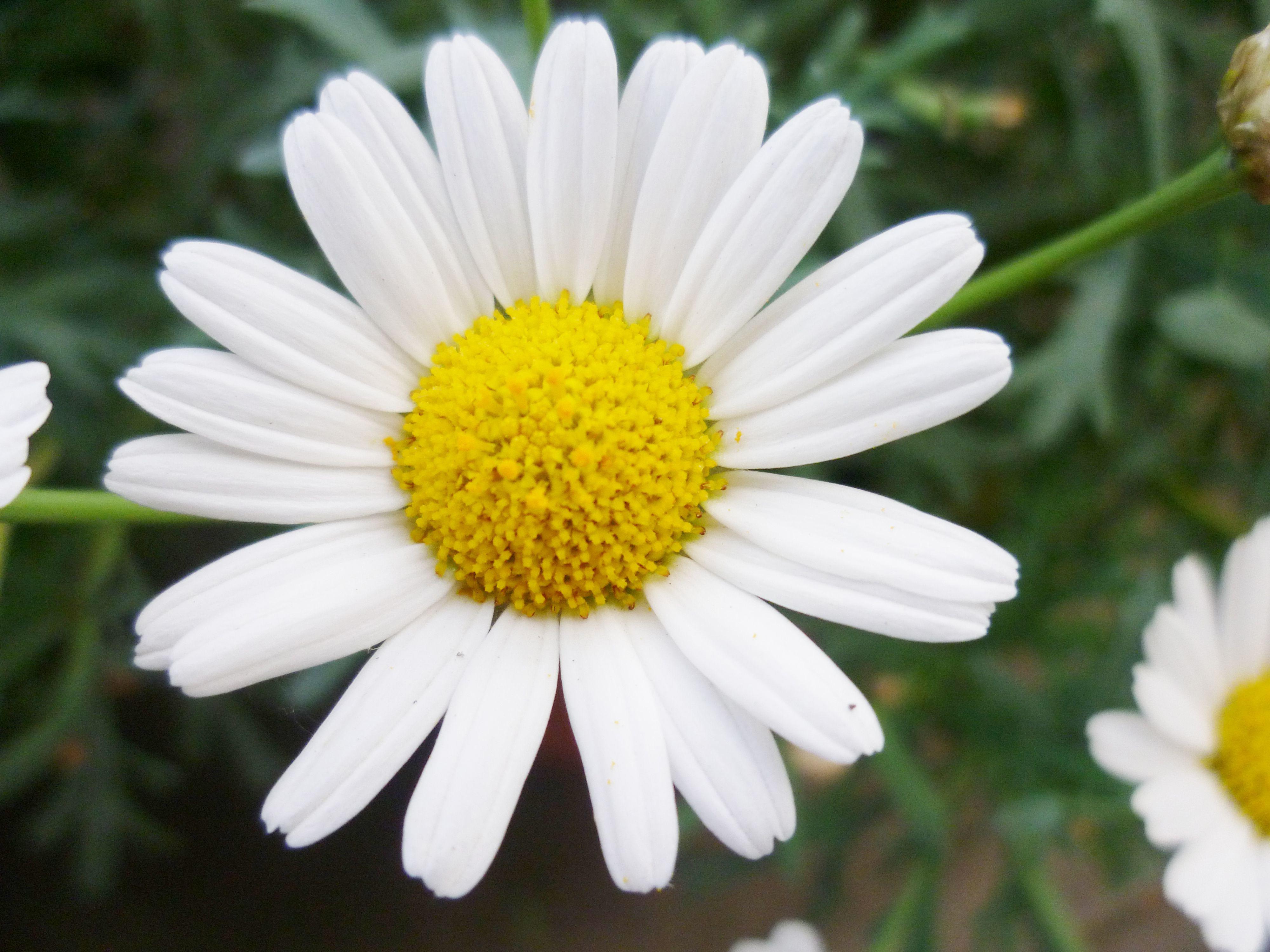 Цветы фото с ромашками