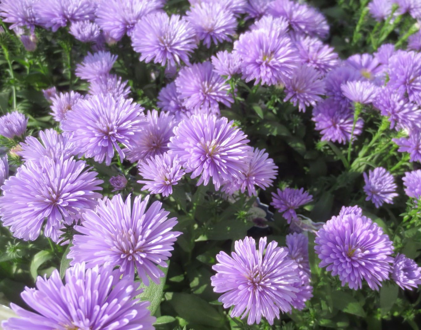 Светло сиреневые цветы