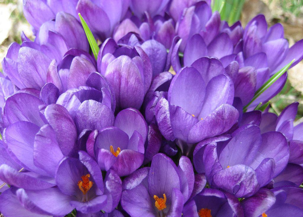 Названия фиолетовых цветов и названиями 67