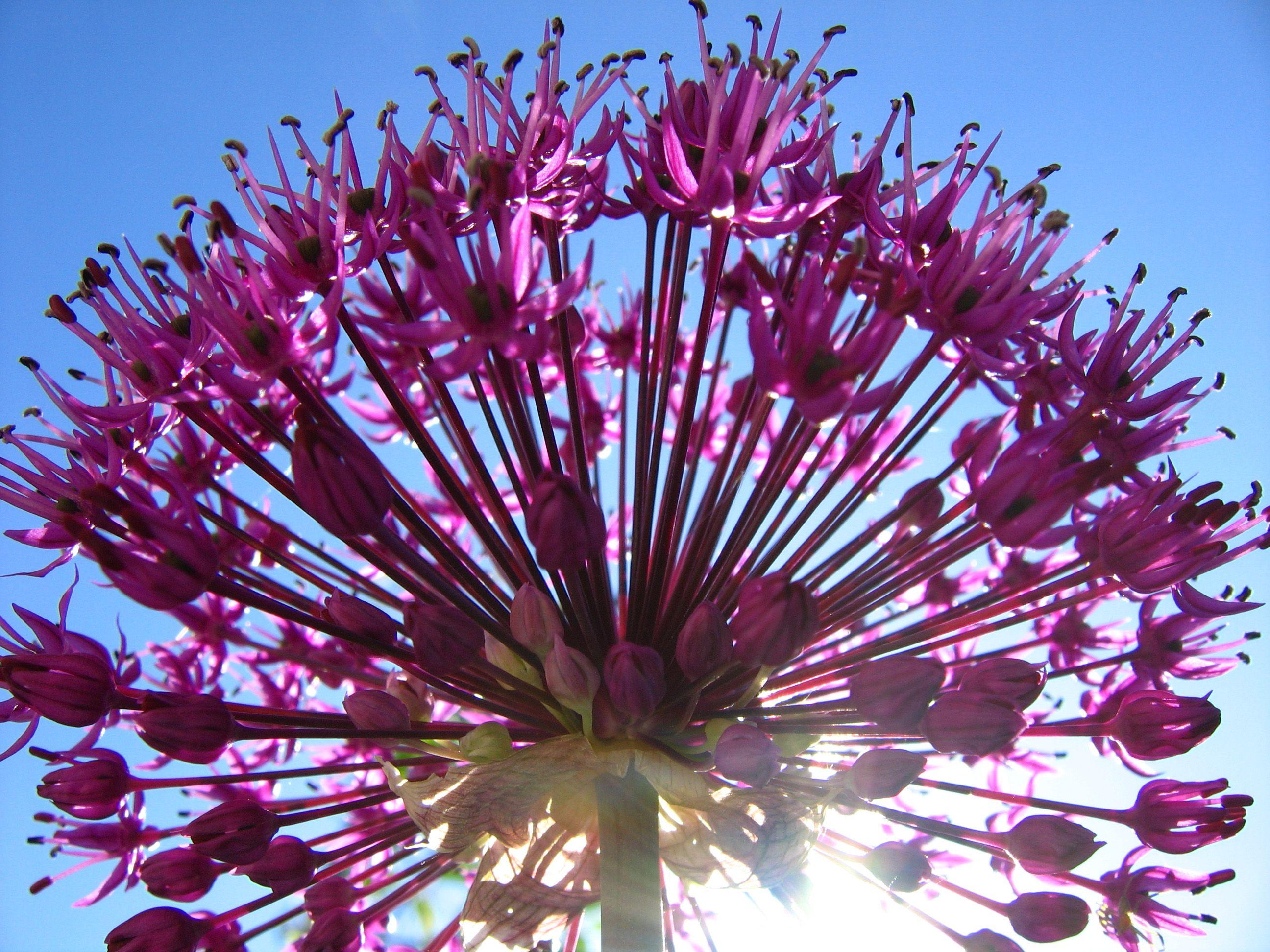 Сиреневый шар цветок