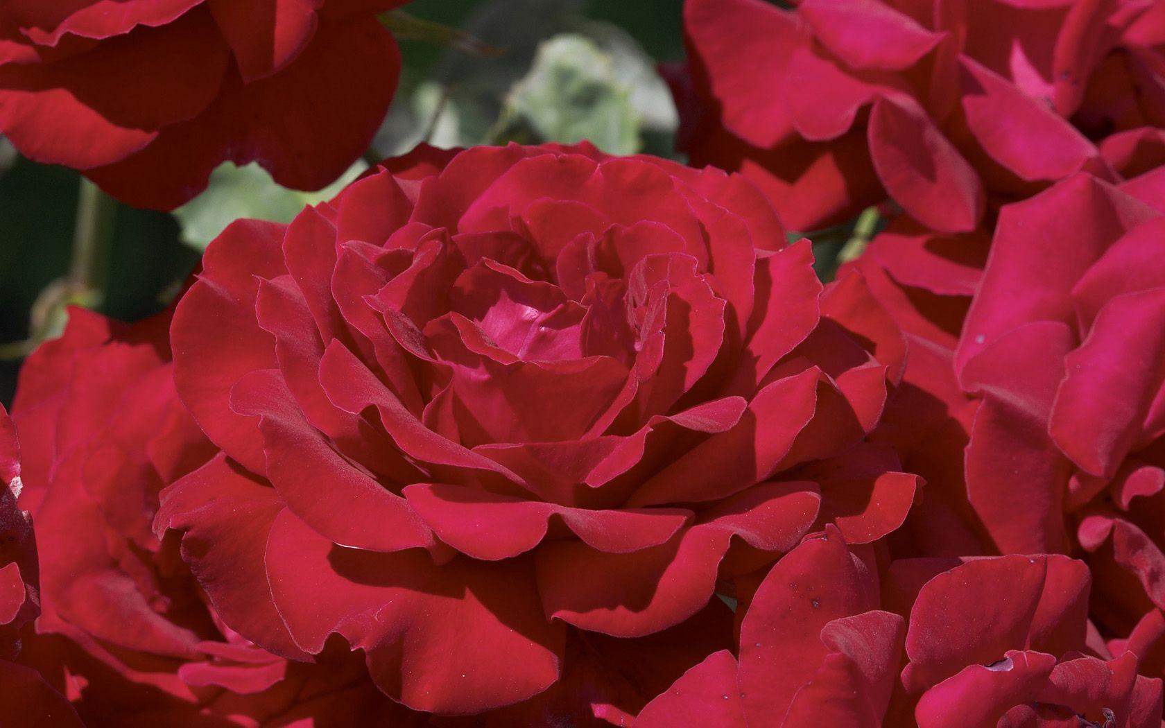 Название красных цветов фото