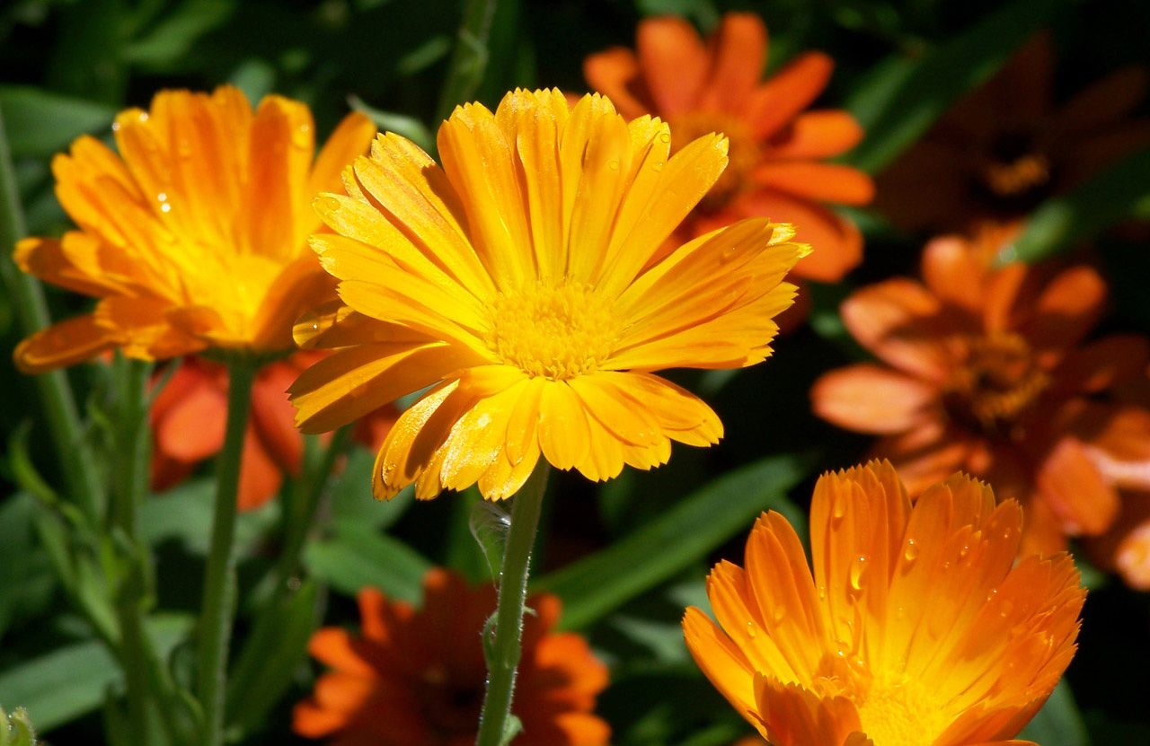 Садовые цветы календула фото