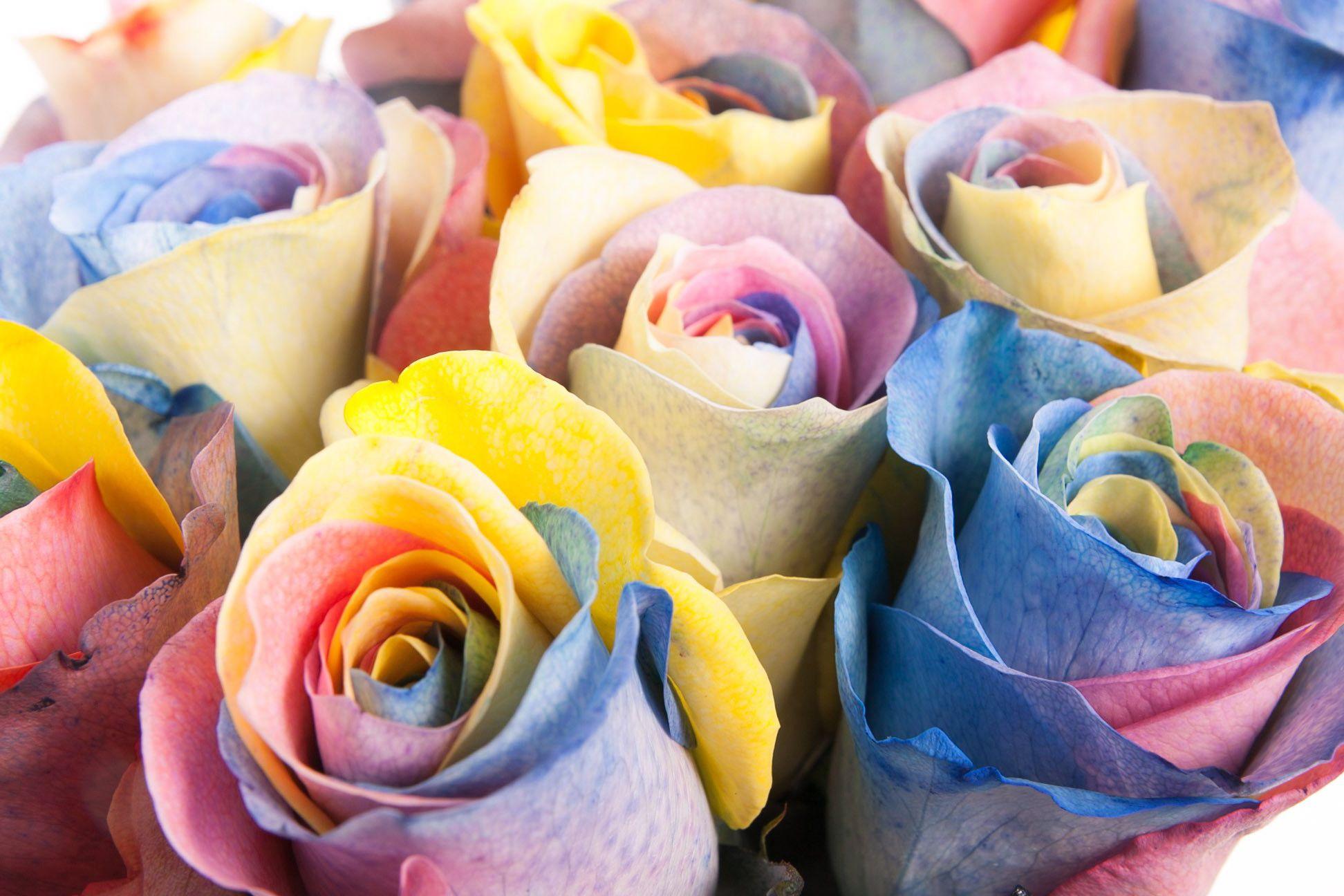 Разноцветные лепестки на одном цветке