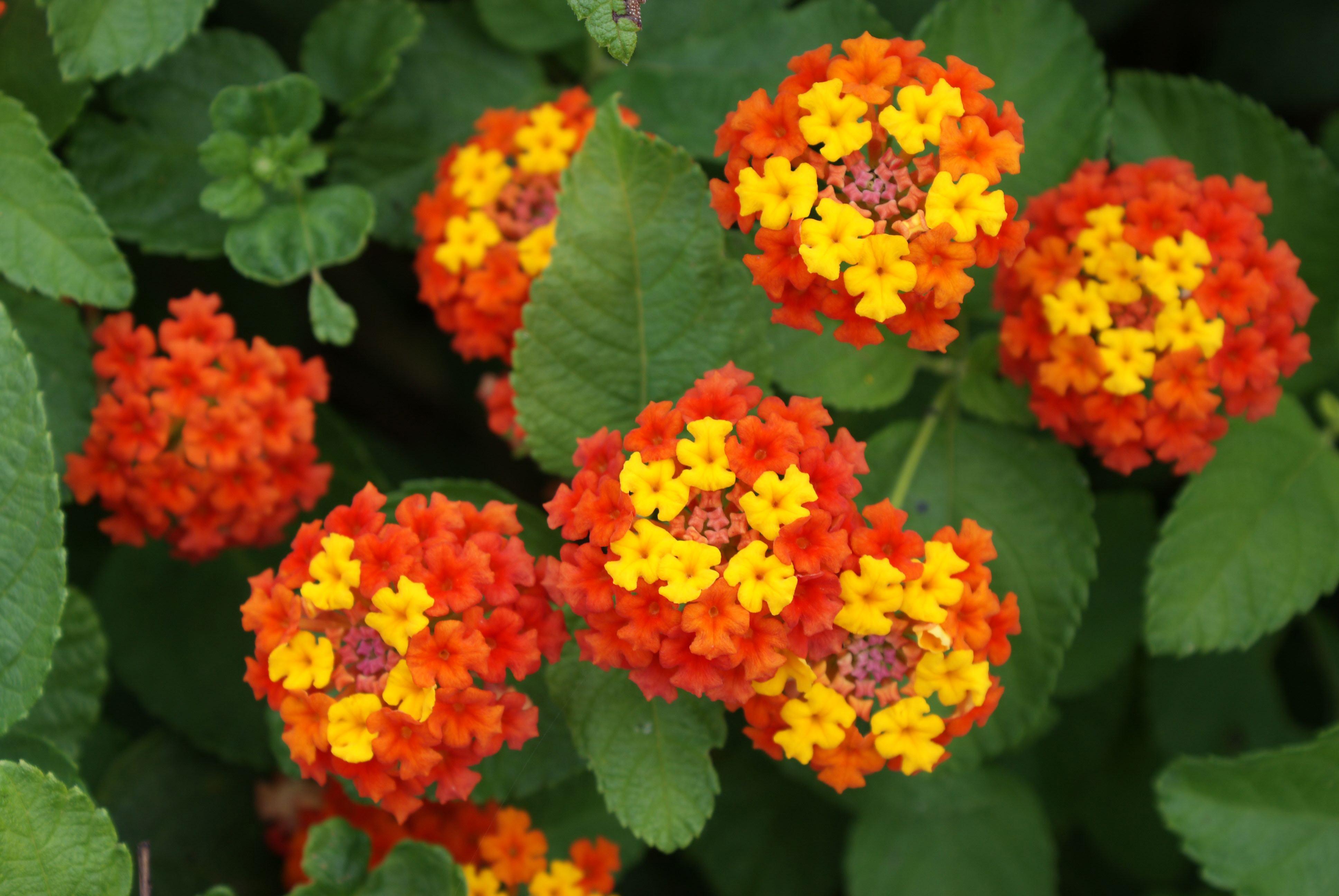 Декоративный цветок фото и его описание