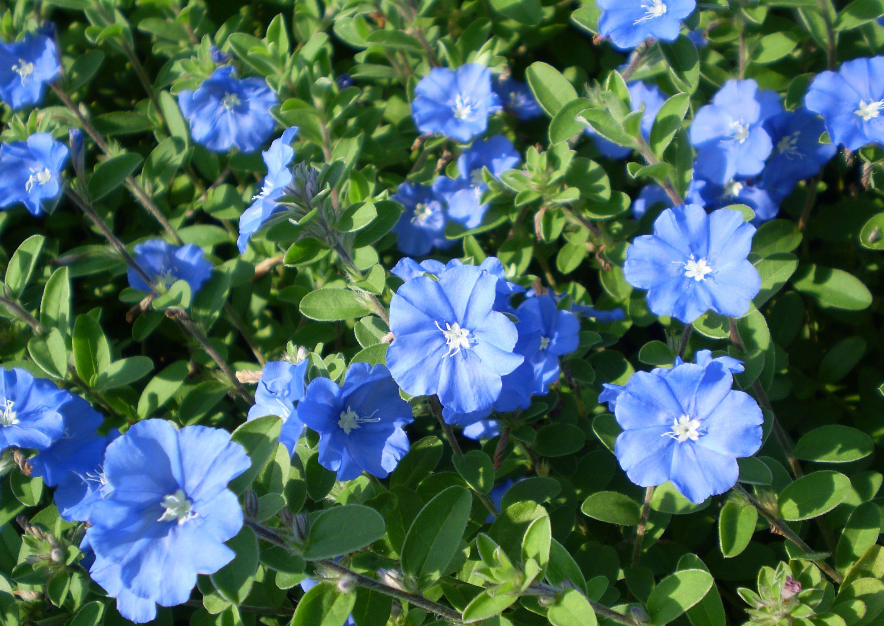 Цветы для вазонов на даче: какие цветы лучше посадить