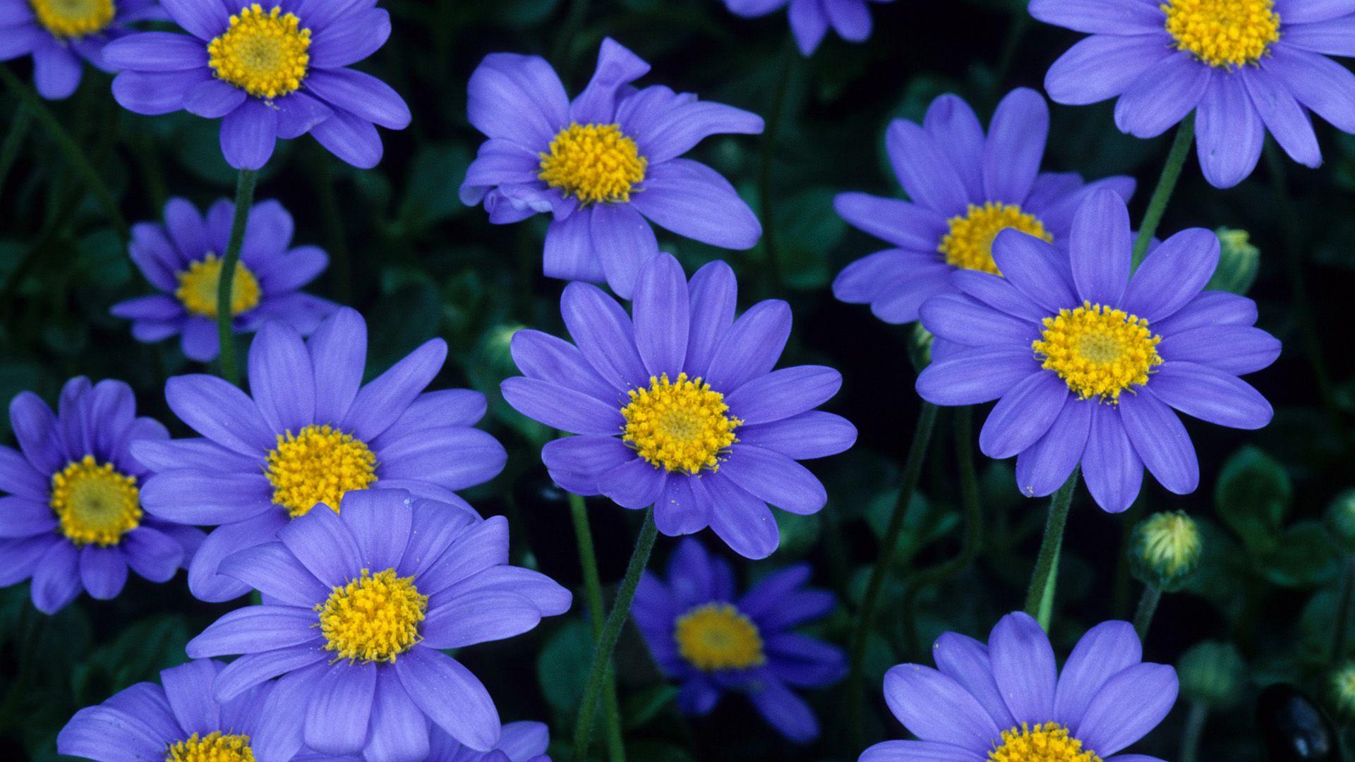 фелиция цветы
