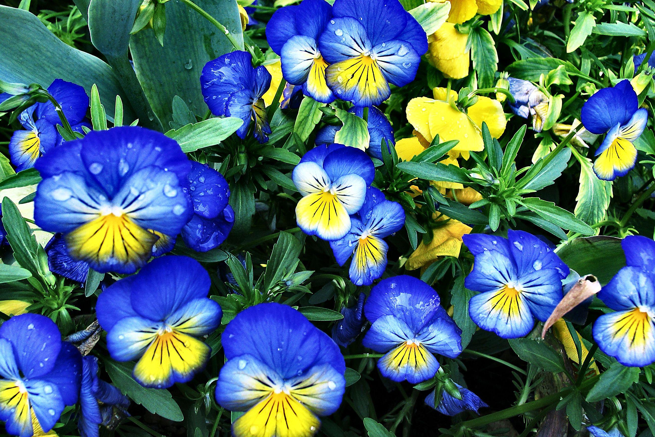 Цветы цветущие синим цветом название