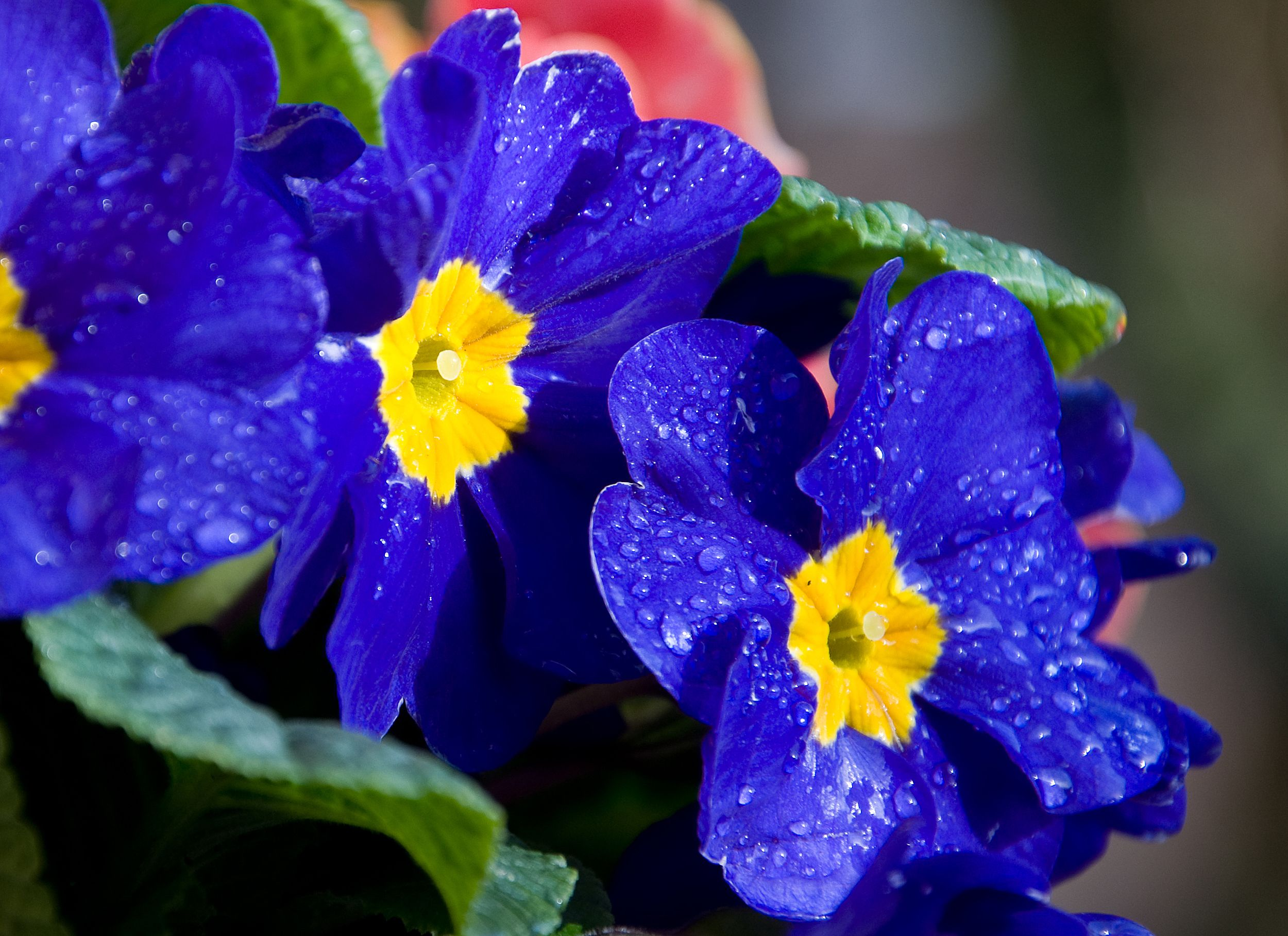Синие цветы на