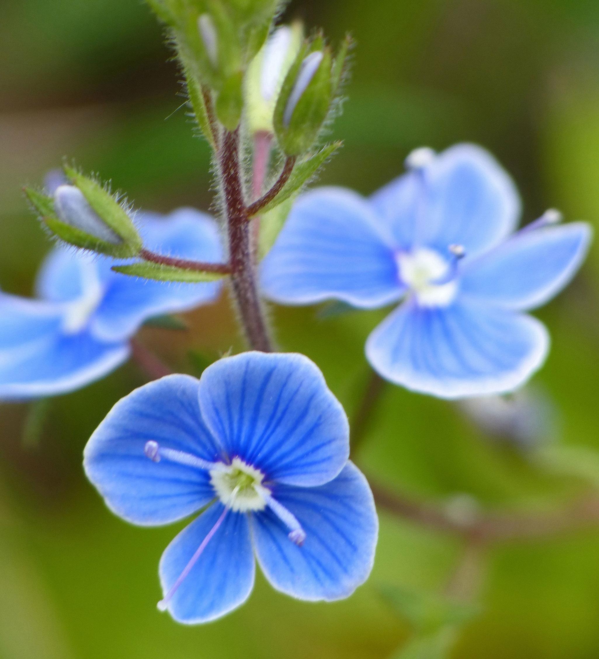 голубые незабудки и алый иван чай