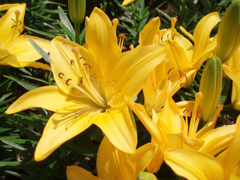 Лисимахия желтые цветы фото с названиями