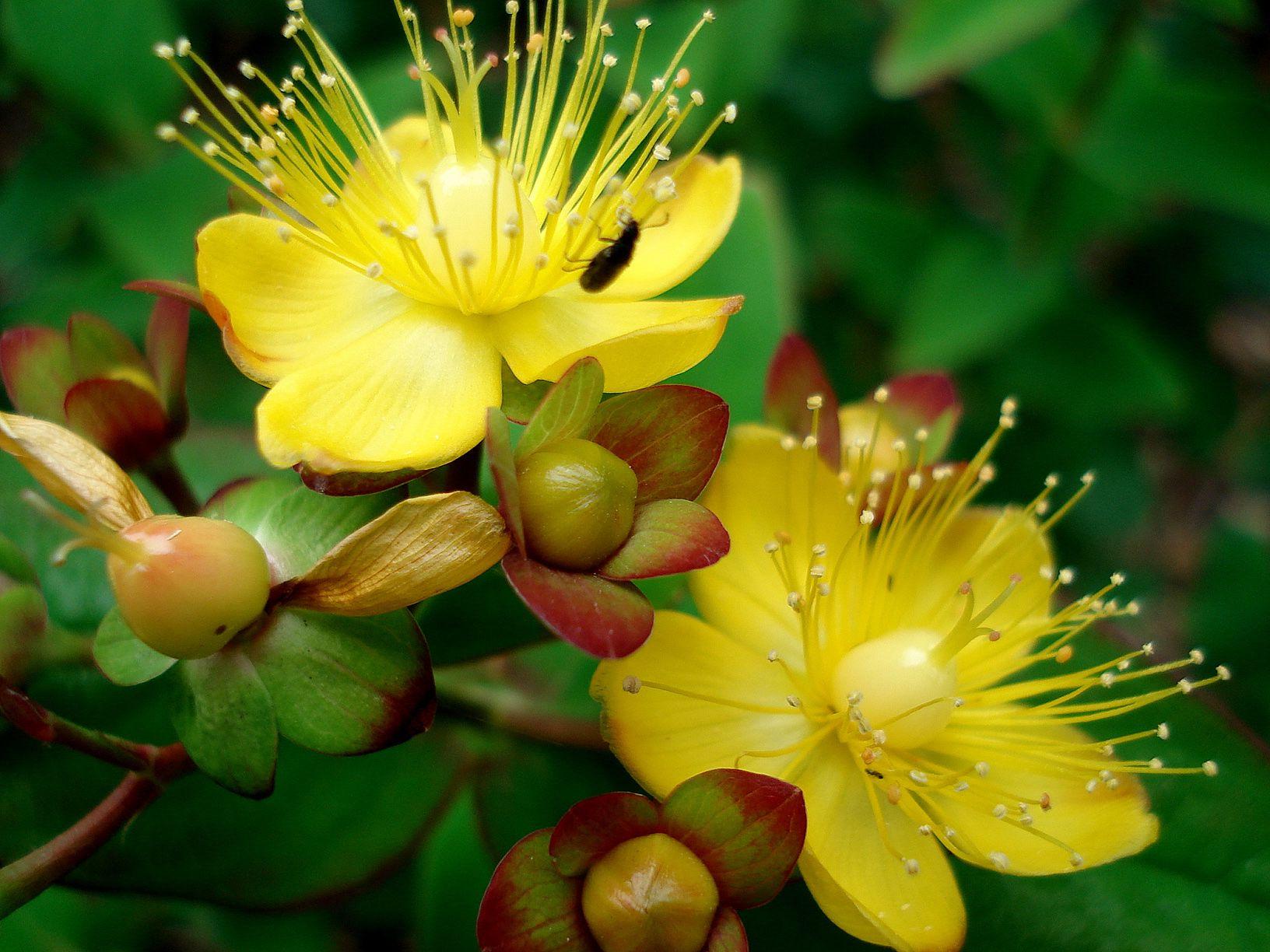 Как называется цветок с маленькими желтыми цветами фото