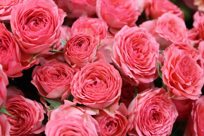 много розовых роз