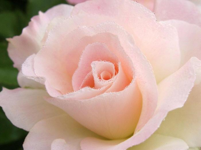 Роза в каплях росы