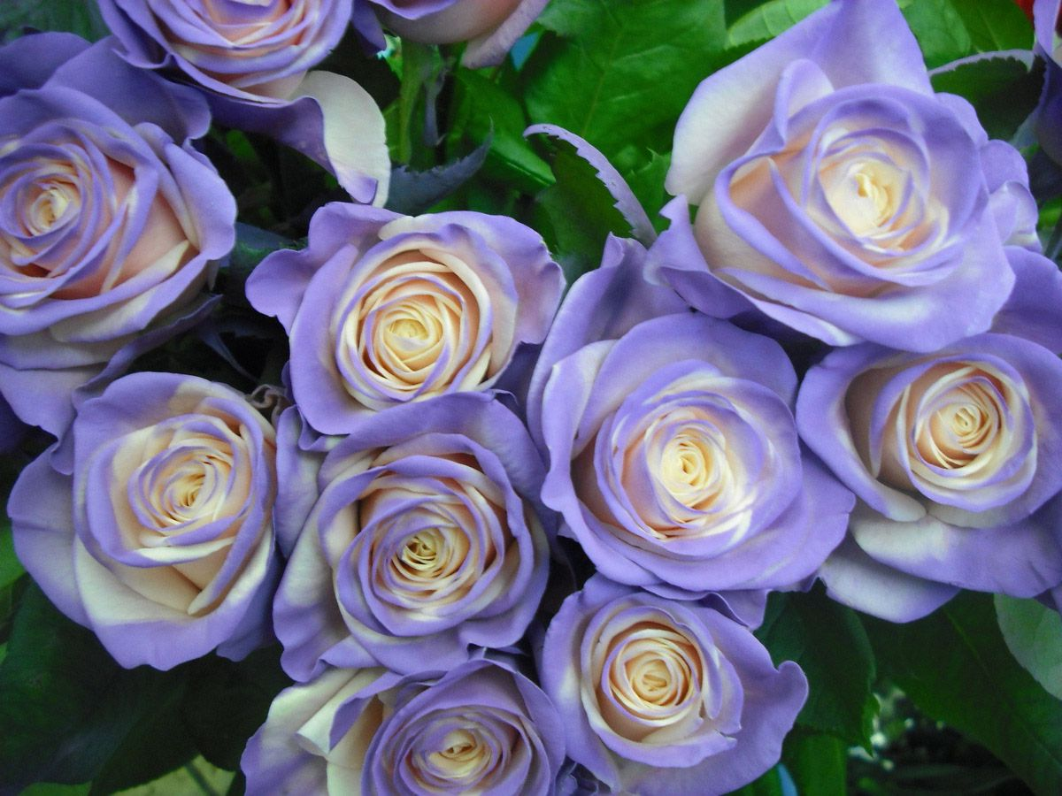 Какие бывают розы цветов фото
