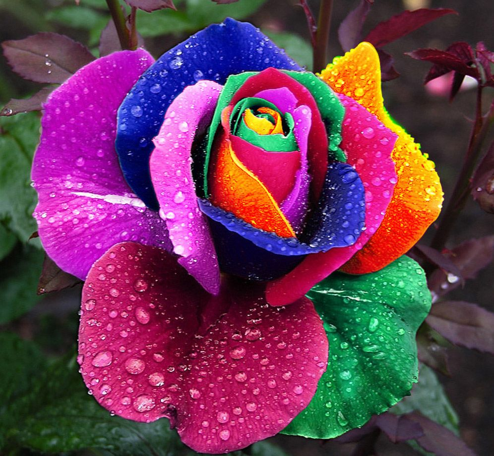 Te regalo una rosa - Página 5 Roza157