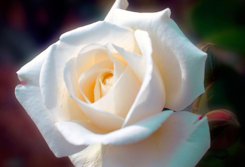 Бутон роза фото