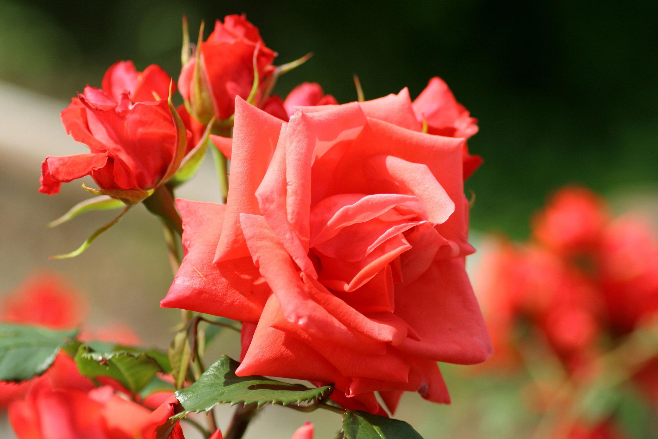 Розы фото бутоны