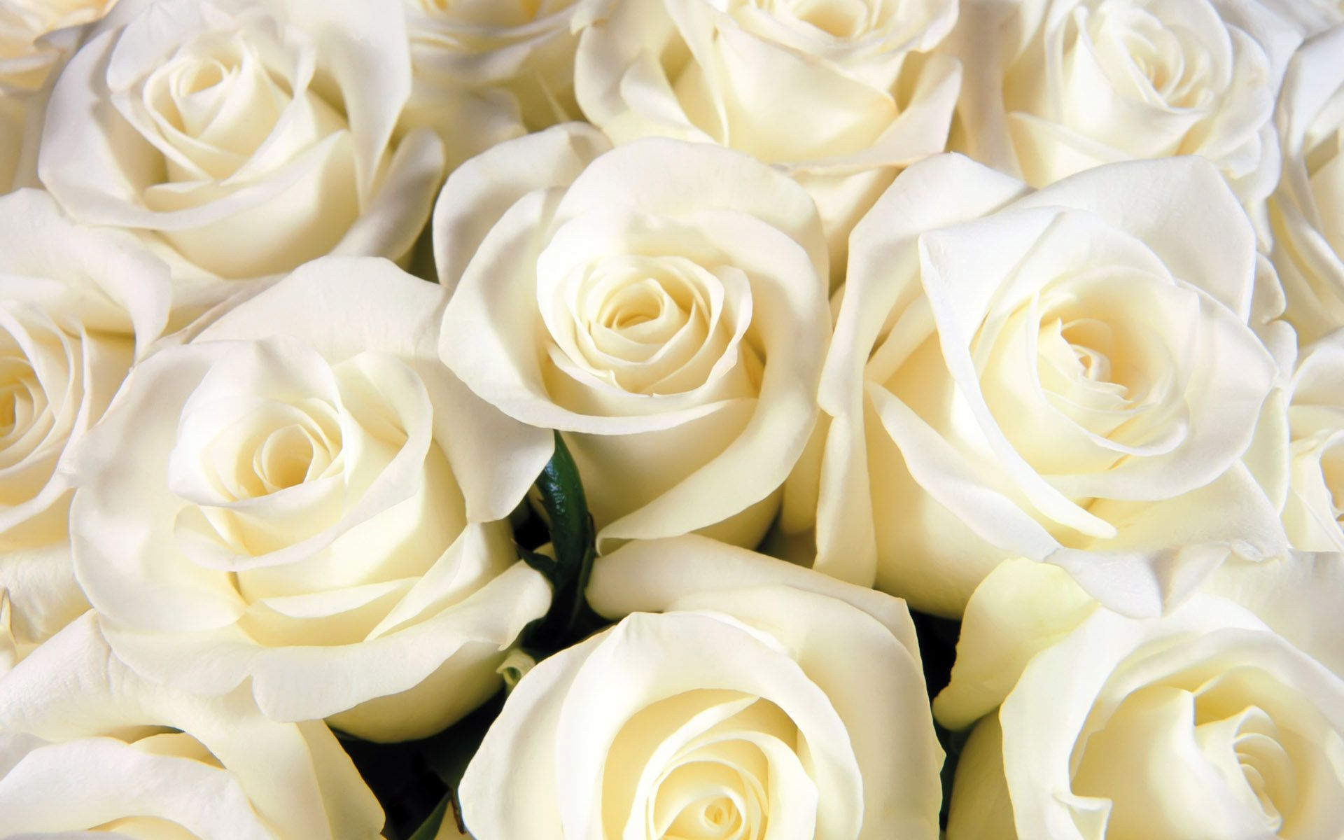 white rose backgrounds wallpapers - photo #36