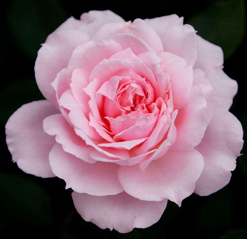 Цветок розовый-фото