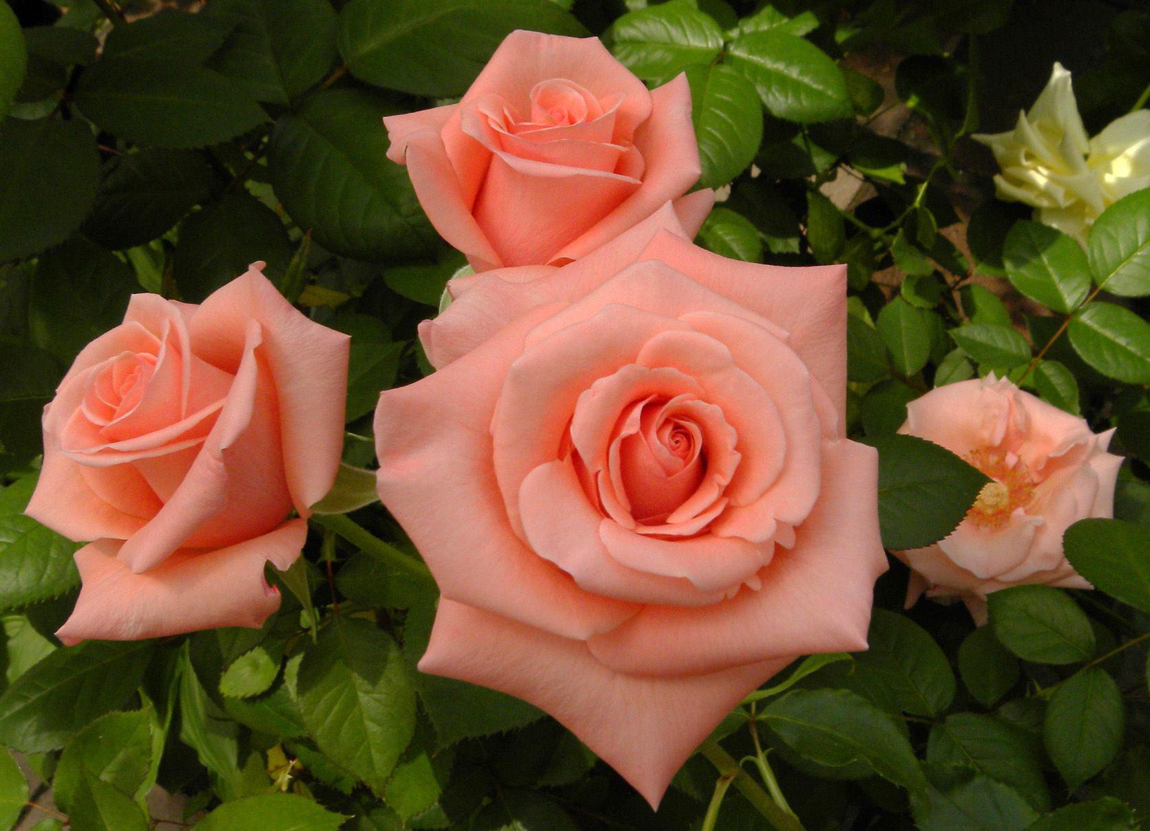 Чайные розы картинки фото