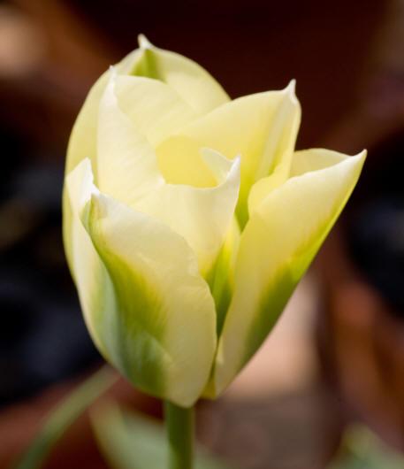 Цветы колокольчик махровый 43