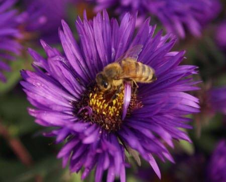 Пчела на фиолетовой астре
