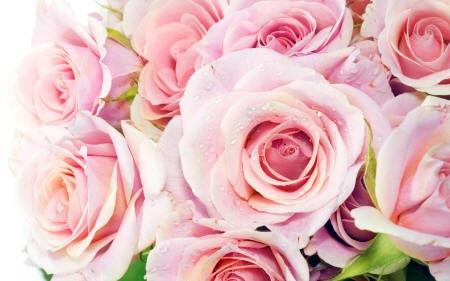 роса на розовых розах